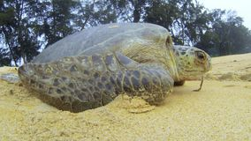 Green Sea Turtle crawling stock video footage