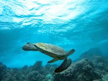 Green Sea Turtle Dancing on the Blue Ocean in Maui Hawaii royalty free stock image