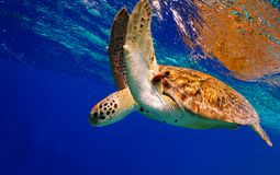 Green Sea Turtle. Descending after taking a breath on the surface royalty free stock images