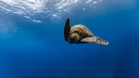 Green sea turtle descends after breathing from the surface royalty free stock images
