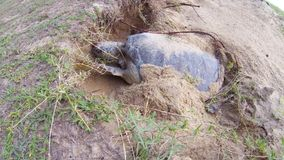 Green Sea Turtle digging stock footage