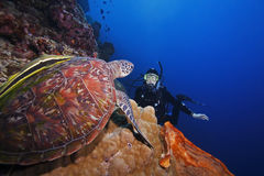 Green Sea Turtle and diver. Green Sea Turtle (Chelonia mydas) and scuba diver regarding each other, on a coral sea wall off Bunaken Island, North Sulawesi Royalty Free Stock Photos