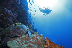 Green Sea Turtle and diver in background. Green Sea Turtle (Chelonia mydas) and scuba diver in background, on a coral sea wall off Bunaken Island, North Sulawesi Stock Photography