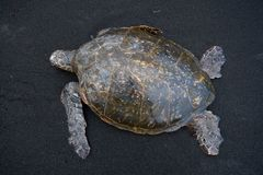 Green Sea Turtle Dorsal View Royalty Free Stock Photos