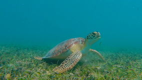 Green Sea Turtle Eating Grass stock video