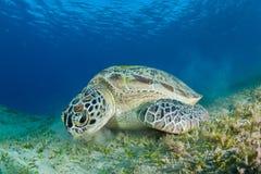 Free Green Sea Turtle Feeding In A Sea Grass Meadow Royalty Free Stock Image - 129633876