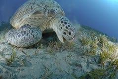 Green sea turtle feeding on seagrass. Green Turtle (chelonia mydas), endangered species, Adult female feeding on seagrass. Red Sea, Egypt Stock Photography