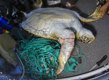 Green Sea Turtle, Galapagos. Turtles and other species such as sea lions and rays are caught in often illegal long line fishing traps. Usually as discarded by Royalty Free Stock Photo
