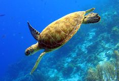 Green Sea Turtle. A green turtle gracefully swimming along a reef royalty free stock photography