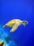 Green Sea Turtle. A green turtle gracefully swimming along a reef stock photo