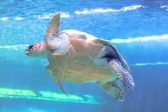 Green sea turtle. In blue sea background. Chelonia Mydas species living in tropical and subtropical seas around the world. Family Cheloniidae, bottom view stock photos