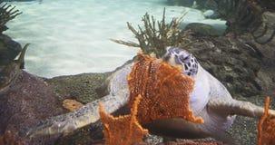 Green sea turtle. Green sea turtle enjoying a meal stock video footage