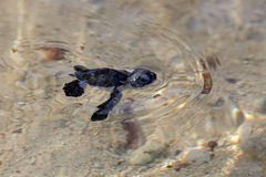Green Sea Turtle Hatchling Stock Images