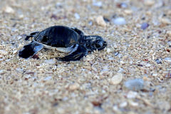 Green Sea Turtle Hatchling. Making its first steps from the beach to the sea Royalty Free Stock Photography