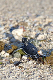 Green Sea Turtle Hatchling. Making its first steps from the beach to the sea Royalty Free Stock Images