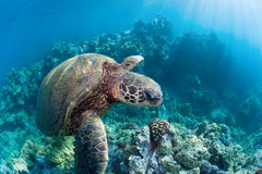 Green sea turtle hawaii. Green sea turtle over endangered coral reef in maui hawaii royalty free stock images