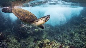 Turtle Diving Under Wave. A green sea turtle in Hawaii Royalty Free Stock Image