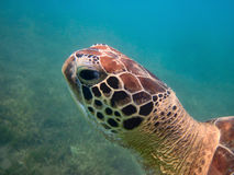 Green sea turtle head closeup Stock Photo