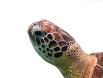 Green sea turtle head closeup isolated Stock Images