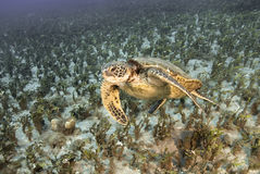 Green Sea Turtle. The image of this Green Sea Turtle was taken off Lanai near Cathedrals in 2011 Royalty Free Stock Photography