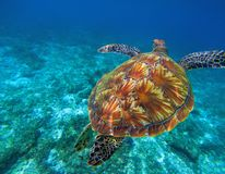 Green Sea Turtle In Clear Sea Water. Tropical Nature Of Exotic Island. Stock Image