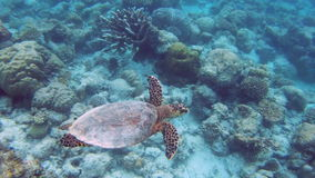 Green sea turtle stock video