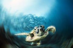Green Sea Turtle isolated on blue background. Green Sea Turtle looking camera on deep blue background at Sipadan island stock image