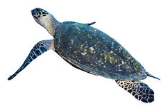 Green Sea Turtle Isolated On White Background Stock Photos