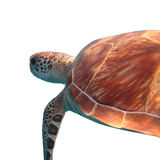 Green sea turtle isolated on white background Royalty Free Stock Image