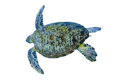 Green sea turtle isolated on white background Stock Image