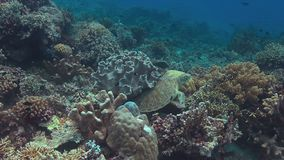 Green sea turtle 4k. Green sea turtle on a colorful coral reef. Cleaning under a soft coral 4k footage stock video