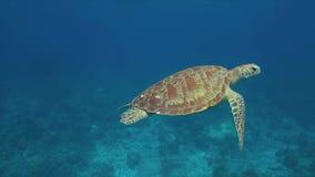 Green sea turtle 4k. Green sea turtle in blue water. 4k footage stock video