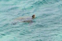 Green sea turtle kauai hawaii Royalty Free Stock Photo