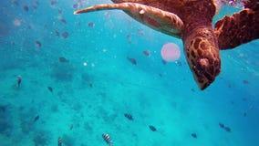 Green sea turtle Kuredu Maldives. Amazing colorful portrait of green sea turtle in maldives stock footage