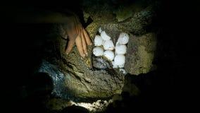 Green sea turtle laying eggs in Las Baulas National Marine Park in Tamarindo, Costa Rica.  Royalty Free Stock Photo