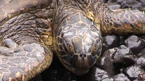 Green Sea Turtle on a Maui Beach. A green sea turtle resting on a rocky Maui beach stock video footage