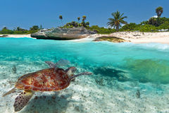 Green sea turtle near Caribbean beach. Caribbean Sea scenery with green turtle in Mexico Stock Photos