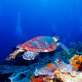 Green Sea Turtle near Coral Reef, Bali Stock Photos