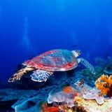 Green Sea Turtle near Coral Reef, Bali. Swimming green turtle (Chelonia mydas), Bali, Indonesia Stock Photos