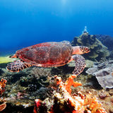 Green Sea Turtle near Coral Reef, Bali Royalty Free Stock Photography