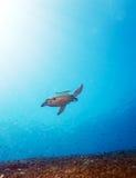 Green Sea Turtle near Coral Reef, Bali Stock Photos