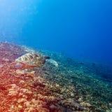 Green Sea Turtle near Coral Reef, Bali Royalty Free Stock Photos