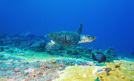 Green Sea Turtle near Coral Reef, Bali Stock Images
