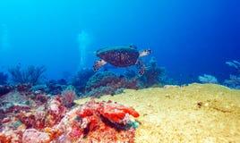 Green Sea Turtle near Coral Reef, Bali Stock Photography