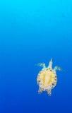 Green Sea Turtle near Coral Reef, Bali. Swimming green turtle (Chelonia mydas), Bali, Indonesia Stock Photo