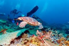 Green Sea Turtle near Coral Reef, Bali. Swimming green turtle (Chelonia mydas), Bali, Indonesia Royalty Free Stock Image