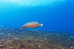 Green Sea Turtle near Coral Reef, Bali. Swimming green turtle (Chelonia mydas), Bali, Indonesia Royalty Free Stock Photo