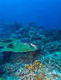 Green Sea Turtle near Coral Reef, Bali. Swimming green turtle (Chelonia mydas), Bali, Indonesia Stock Photography