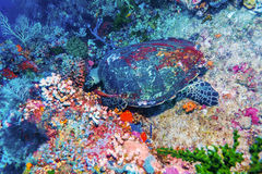 Green Sea Turtle near Coral Reef, Bali. Swimming green turtle Chelonia mydas, Bali, Indonesia Stock Photo