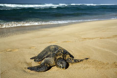 Green sea turtle, North Shore of O'ahu, Hawaii Stock Images